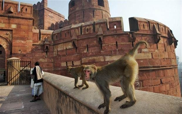 India's monkeys 'to be put on the pill'
