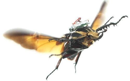 Giant remote-controlled beetles and 'biobot' insects could replace drones
