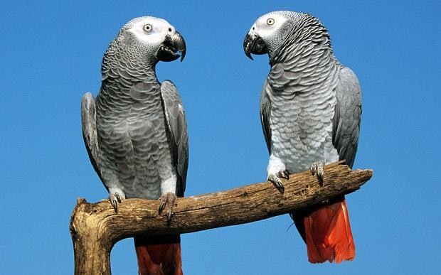 Revealed: The secret to how parrots talk