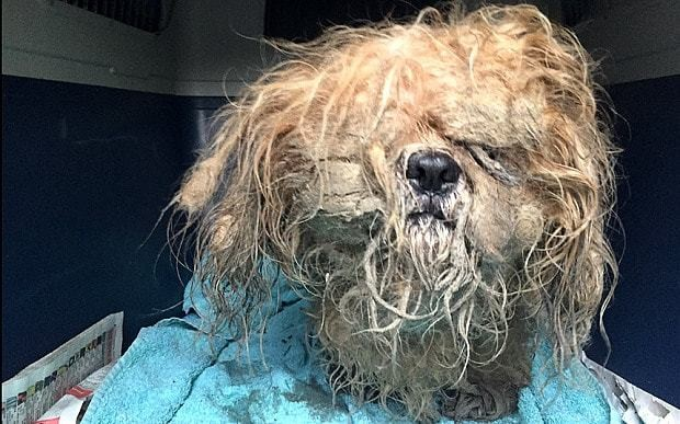 Shih tzu rescued from rain is given doggy hair cut
