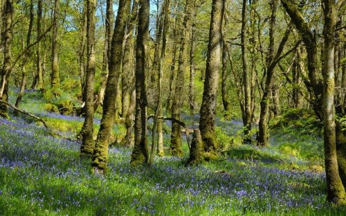 Britain's best places to see bluebells - Telegraph
