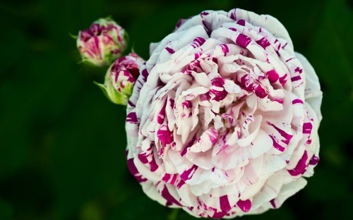 10 of the best roses to grow - Telegraph