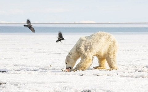 'Air bear' flight to Russian Arctic returns polar bear who drifted 400 miles south on ice