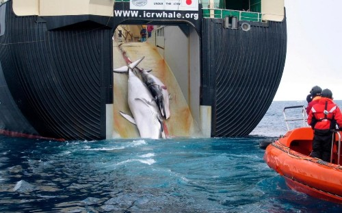 Japan's fleet returns with 333 whales killed in the name of science