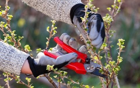 Tips on winter-pruning for fruit bushes