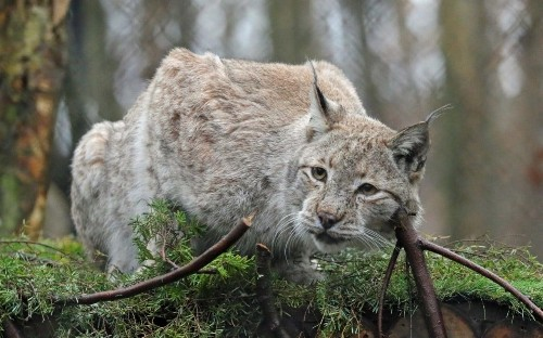 'Near certainty' lynx will be released into wild in Britain as landowners agree to plan