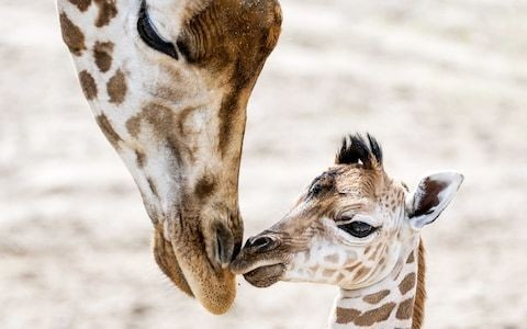 Giraffes protected from being slaughtered for their body parts for first time