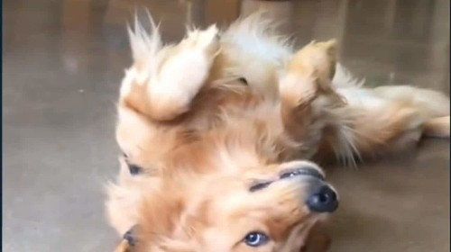 Golden retriever doesn't want to walk, and you can't make him – adorable video goes viral