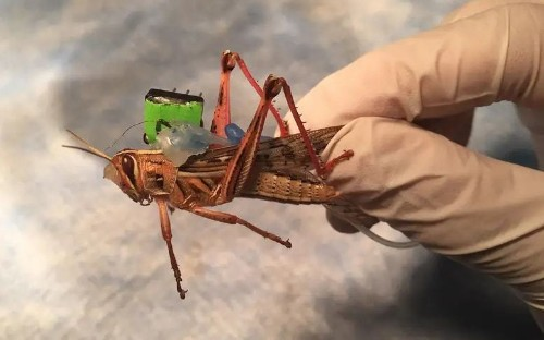 Bomb-sniffing cyborg grasshoppers tested by scientists
