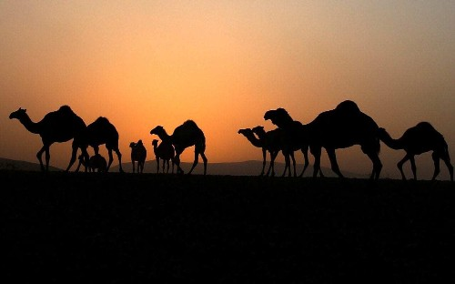 New outbreak of deadly 'camel flu' reported in Oman