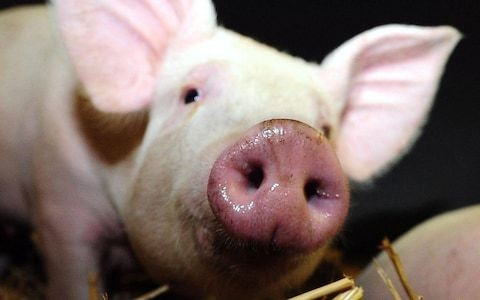 Brains of dead pigs restarted by scientists raising prospect of life after death