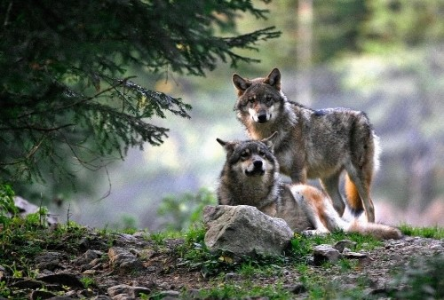 Italy cracks down on illegal sale of dangerous wolf cross-breeds after four-year investigation