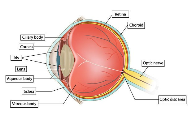 Cure for cataracts: scientists use stem cells to grow 'living lens' in eye