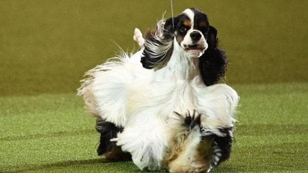 Crufts Best in Show 2017 branded a 'joke' as fans say American cocker spaniel looks nothing like a working dog