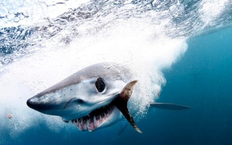 World's fastest sharks receive UN protection in crackdown on fin trade