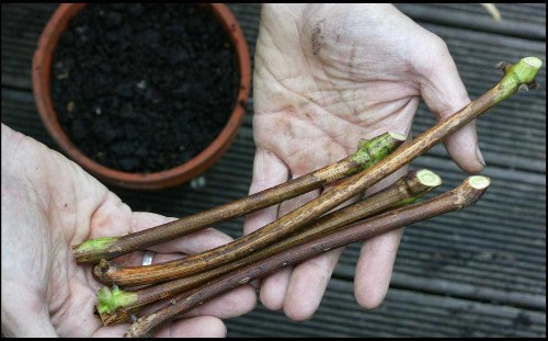 Winter jobs: how to take hardwood cuttings and grow more of your best shrubs and trees