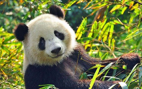 Pandas: where to see them in China