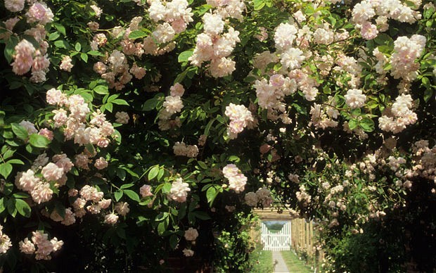The perfect plant: a rose to grow into a mature tree