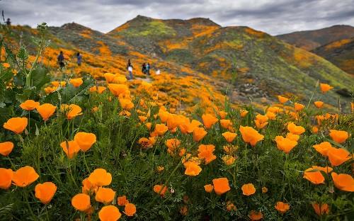 Blooming nightmare: Rare wildflowers lure 'unbearable' crowds of selfie-seekers to California