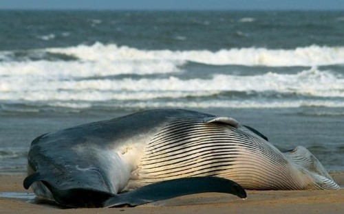 Mystery of 40ft whale found on Norfolk beach as experts say it is 'rare' to find species in North Sea