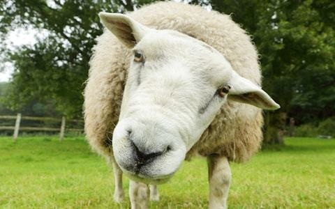Mutton making a comeback because it's lost its 'cheap' image, say sheep farmers and butchers