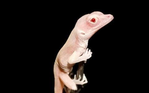 World's first gene-edited reptile gives hope for albino eye problems cure