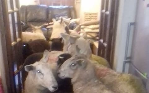 Stunned farmer finds flock of sheep in her home thanks to overzealous sheepdog puppy