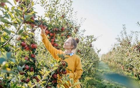 Mark Diacono's juicy guide to getting the most out of apple season, including tips for harvesting, storing, and what to make with them