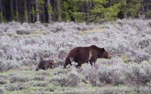 Only cub of beloved grizzly bear is killed by car in American park