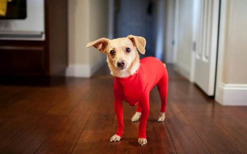 Dog leotards – an inspired solution to keep pet hair off your furniture