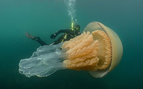 A mysterious influx of barrel jellyfish is puzzling Cornwall – so I went swimming with them