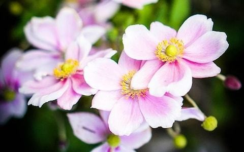 How to grow Japanese anemones - a quick guide