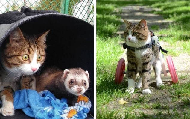 Rexie the handicapped cat has a pink wheelchair and is best friends with a ferret