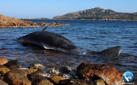 Sperm whale found dead in Sardinia was pregnant and had 22 kilos of plastic in stomach