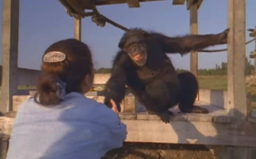 Woman's emotional reunion with the chimpanzees she helped save