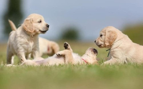 Tough new laws will ban the sale of puppies under eight weeks old