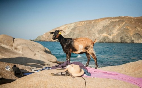 The Greek beach where goats are in charge