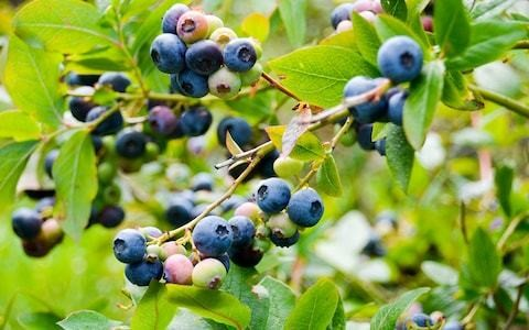 Grow to eat: blueberries for vitamin-packed brunches