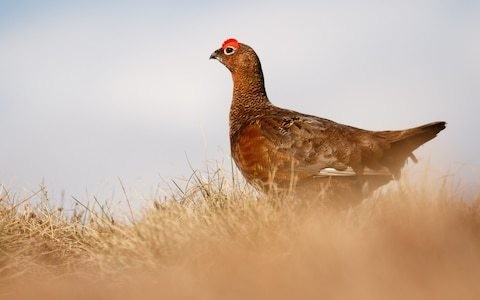 British game meat to be exported outside of UK for first time as Hong Kong becomes first country to buy UK grouse