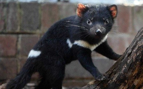 Tasmanian devil developing resistance to deadly face cancer which may allow them to 'save themselves'