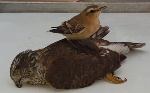 Tiny bird comes out on top in battle against bird of prey