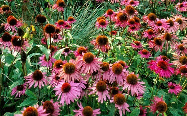 How to grow echinacea, those lazy, crazy daisies of summer