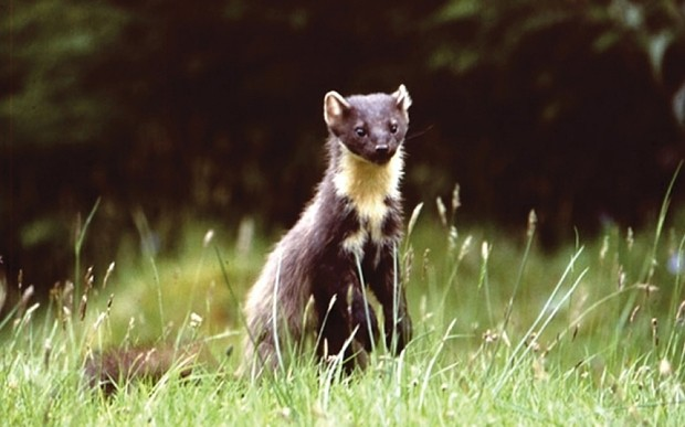 Pine marten spotted in England for the first time in a century