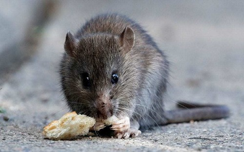 Honest John: a rat gnawed its way into my new BMW. What I can do?
