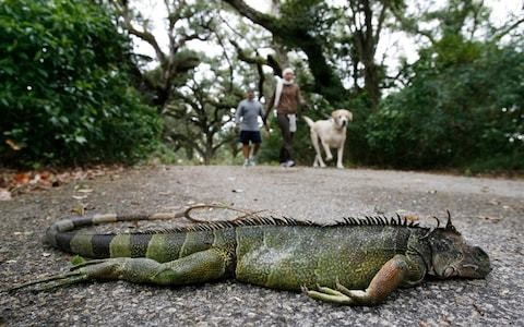 Frozen iguanas falling out of trees in unusually chilly Florida