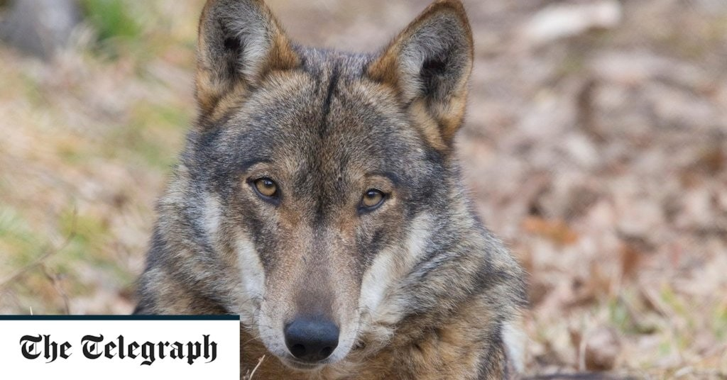 Italy embarks on first national count of its burgeoning wolf population