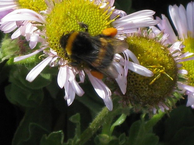 Bees behaving badly: bumblebees steal pollen from rivals