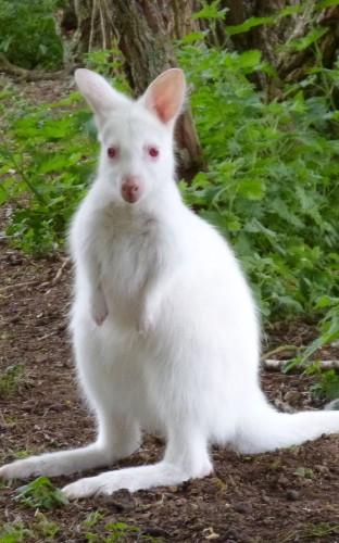 Amazing albino animals, from alligator to orangutan