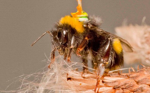 Bees are being mapped to help develop driverless cars and drones by scientists glueing tiny antennas to their heads