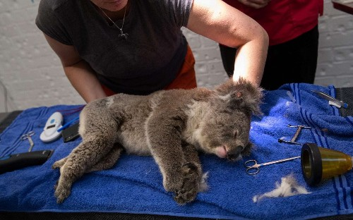 New South Wales bushfire destruction means koalas could 'disappear from the state by 2050'